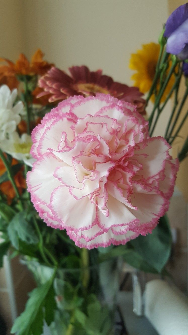 Pink Tipped White Carnation White Carnation Carnations Flowers