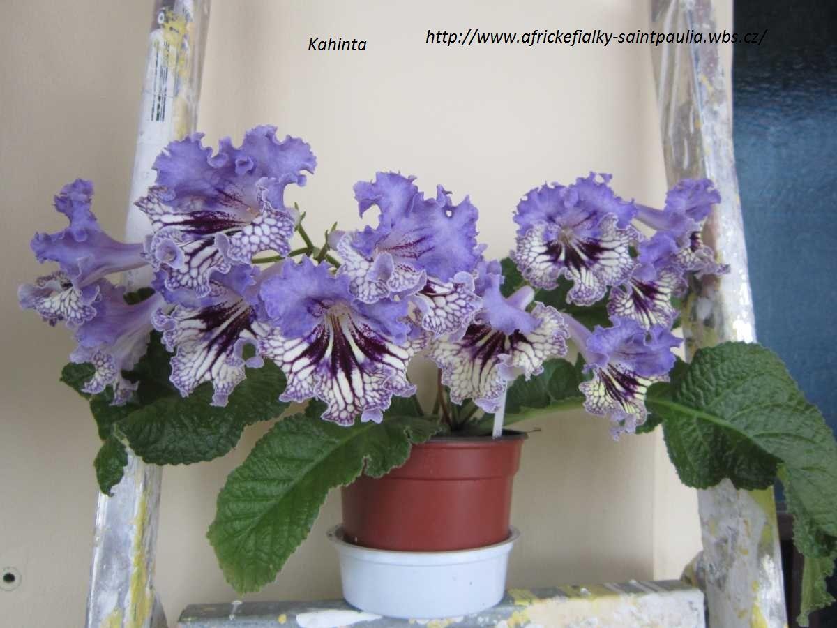 Streptocarpus 'Kahinta'