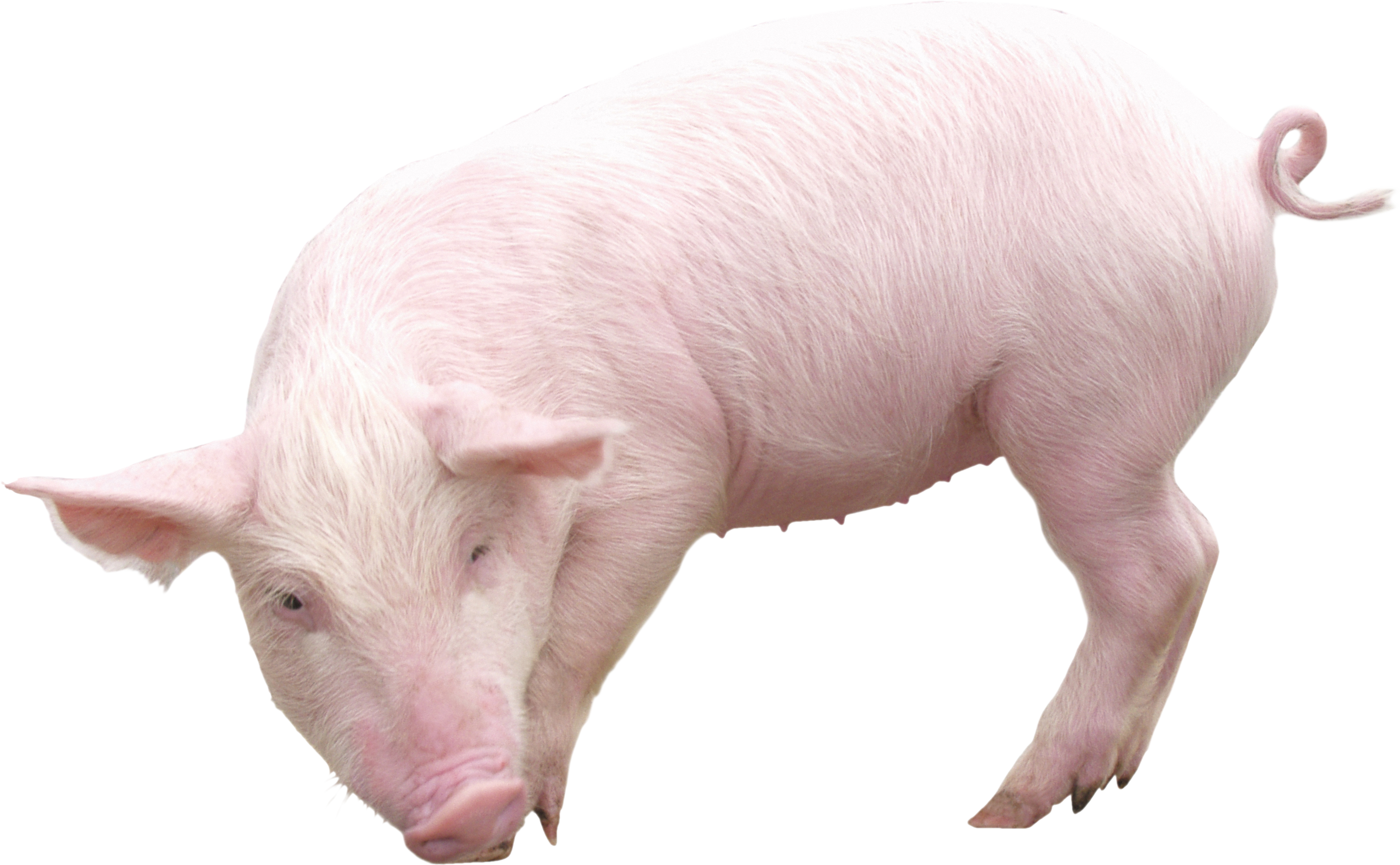 Pig From Sideview Png Image Pig Pig Art Pig Png