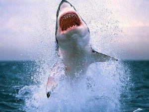 Shark Attack Wallpaper Animals Great White Shark Diving