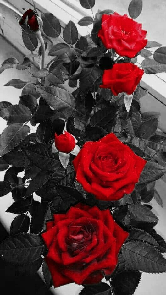 Red roses black and white background.
