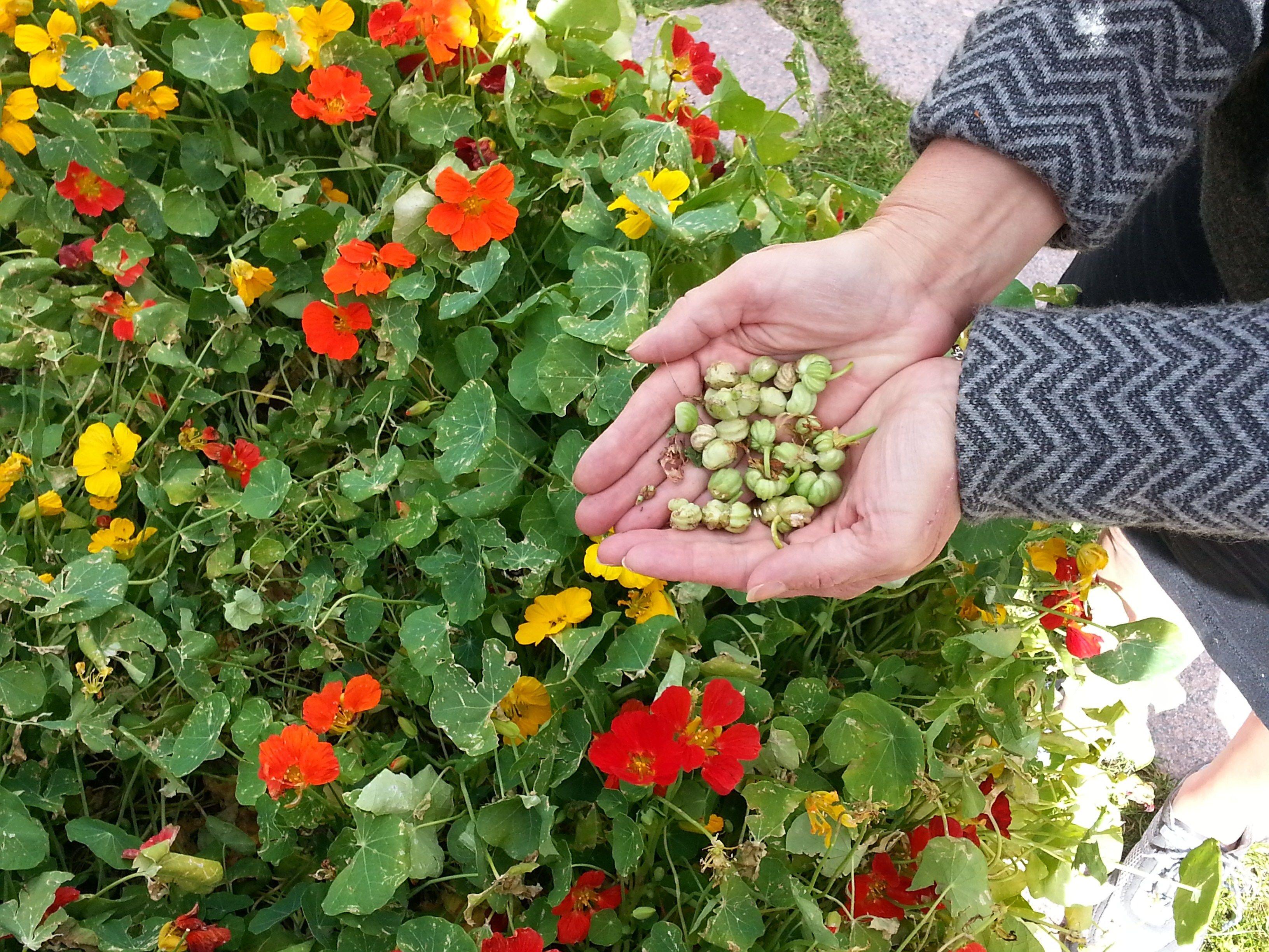 Buy culinary herbs plants nasturtium plants - Plants Nasturtiums