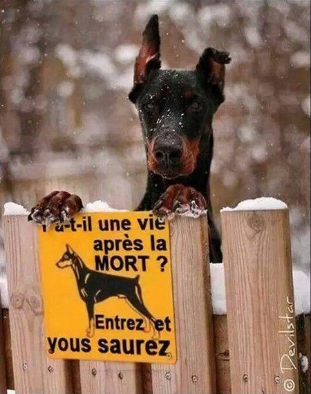 Humour le chien humour pinterest chien dr le et humour - Vente dobermann oreilles coupees ...