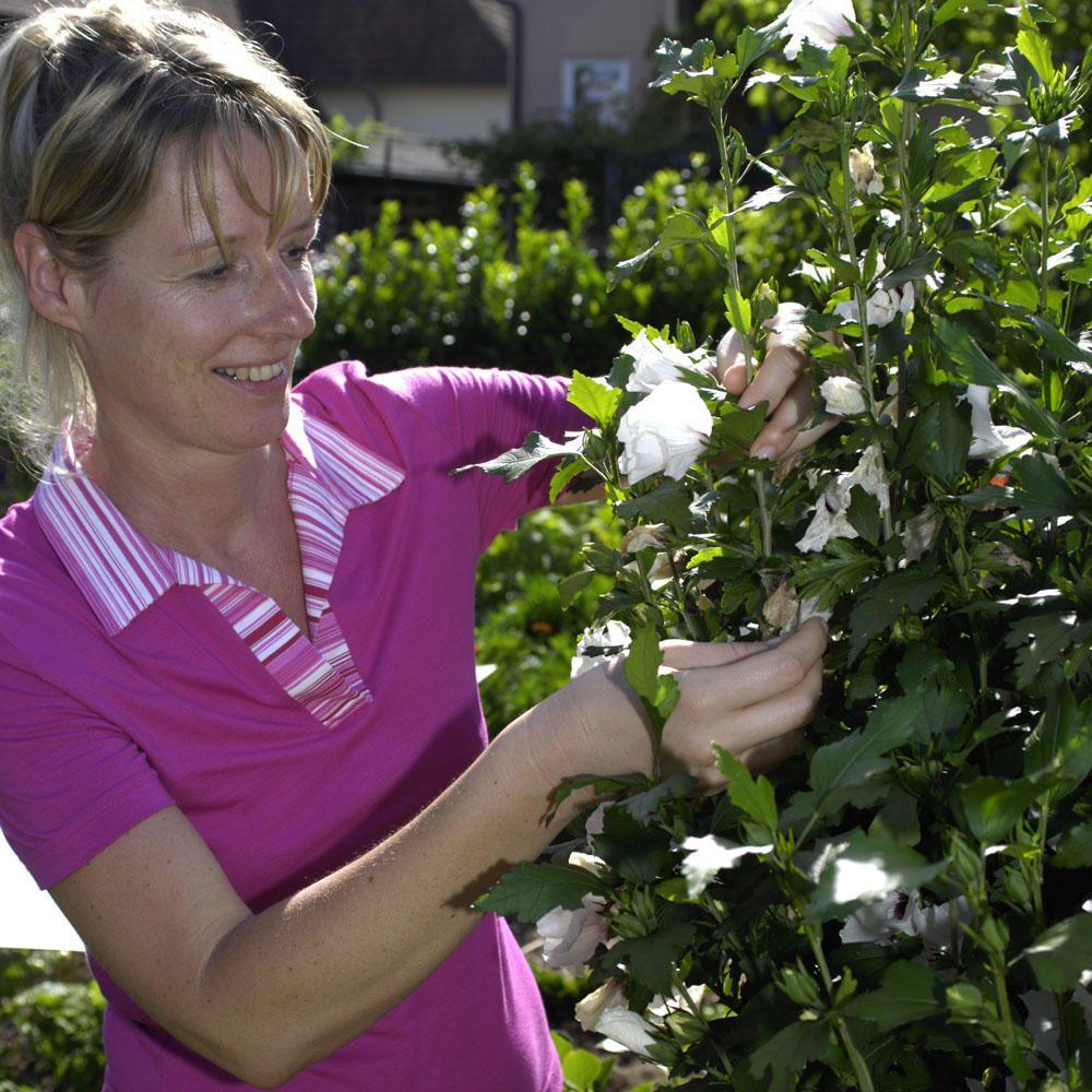 HibiskusHecke Tipps zur Pflanzung und Pflege Hibiskus