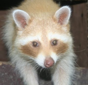 blonde or albino raccoon animals melanistic animals
