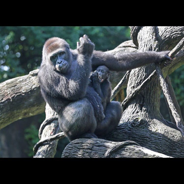 Mondika, or Mona as she is called, turned one August 4 and the Cincinnati Zoo and Botanical Garden handlers threw her a birthday party. Her mom is Asha. There was cake and cupcakes scattered around their enclosure. The Enquirer/Liz Dufour
