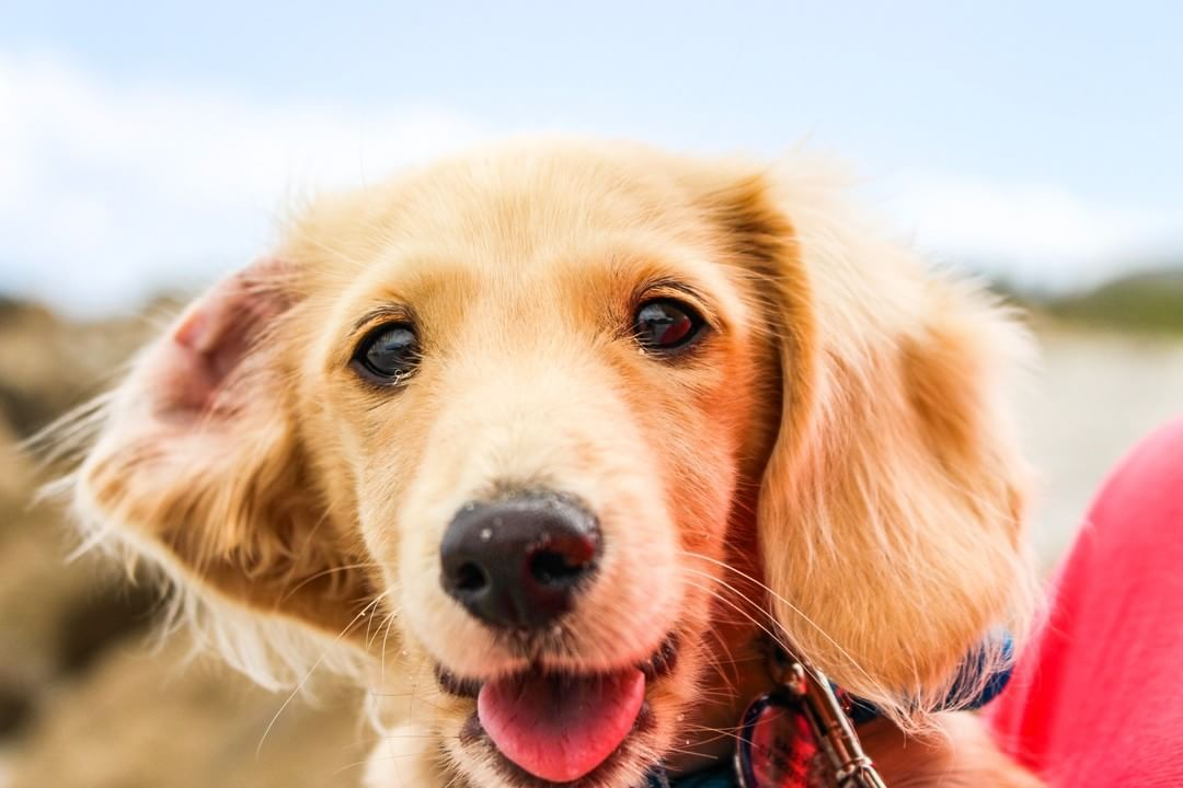Did You Know Ideally You Should Brush Your Dog S Teeth Every Day Check Out This Great Blog By Thedogbakery Ht Golden Retriever Retriever Puppy Dog Pictures