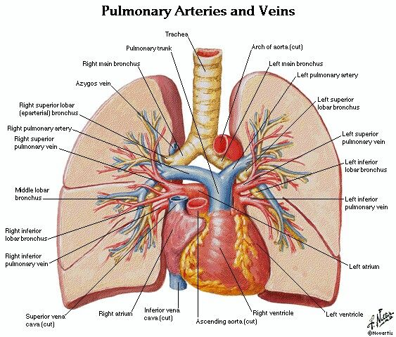 Pulmonary Arteries & Veins | NBRC-CSE/TMC Exam-Pathology-2016 ...