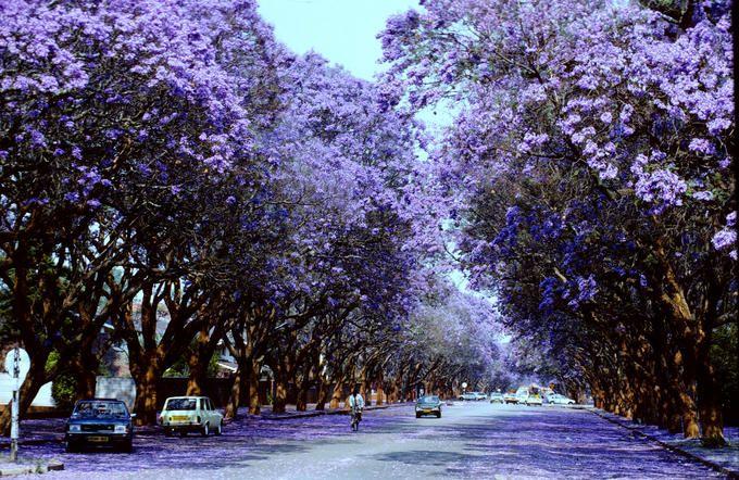 The Jakaranda Tree Westwood Memories Some Of My