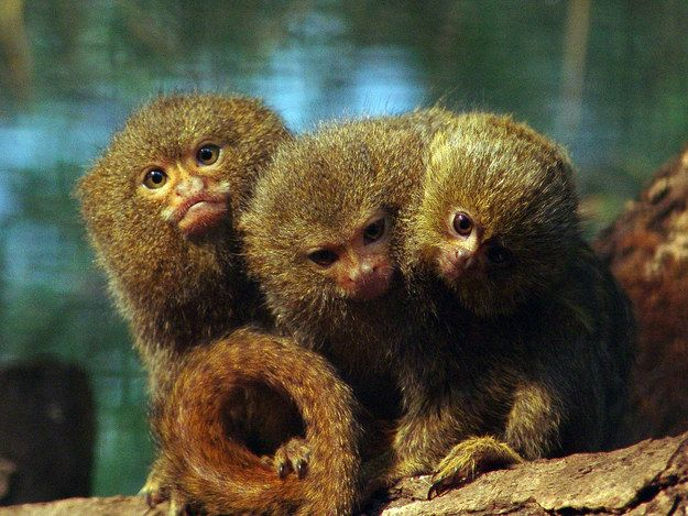 17 Reasons To Love Marmosets Monkeys For Sale Marmoset Monkey For Sale Cute Monkey