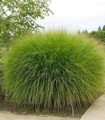 Buy Maiden Grass Plants Online | Free Shipping Over $99 -   13 plants Texture landscapes ideas