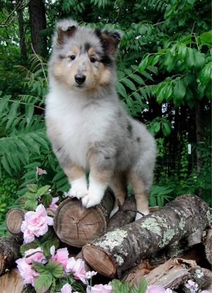 Love This Picture It S Really Beautiful Rough Collie Rough