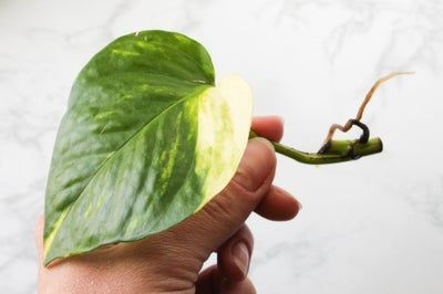 How to Propagate a Pothos Plant is part of Pothos plant, Propagating plants, Plant cuttings, Plants, Hanging plants diy, Fast growing vines - How to Propagate a Pothos Plant If you're got an overgrown pothos plant or are looking for an easy way to get more plants, propagation via cuttings if the best way to go! In this instructable I'll show you how to trim your pothos plant, take cuttings, root the cuttings in water,