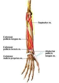 muscles of forearm origin and insertion에 대한 이미지 검색결과