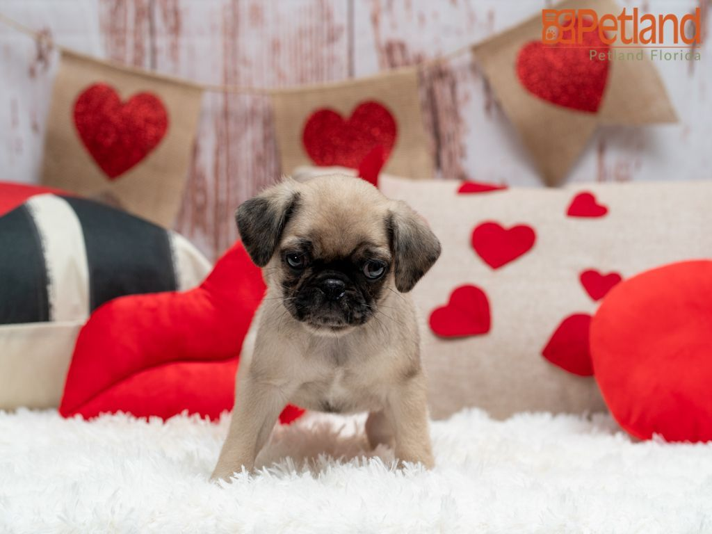 Puppies For Sale Puppies For Sale Puppies Pug Puppies