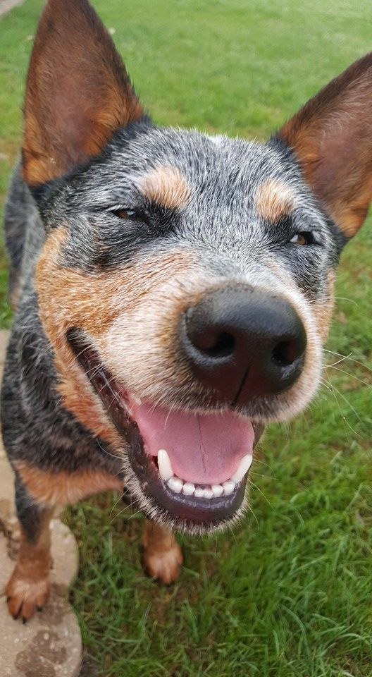 The Acd Smile With Images Blue Heeler Dogs Aussie Cattle Dog Dogs