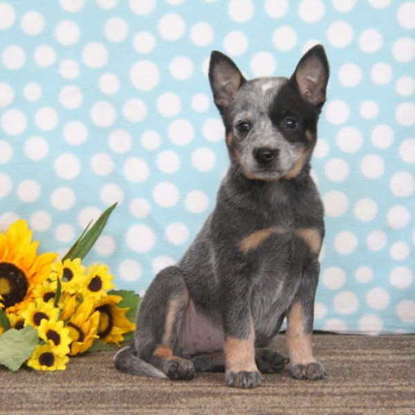 Regina Blue Heeler Australian Cattle Dog Puppy For Sale In Pennsylvania Australian Cattle Dog Puppy Australian Cattle Dog Blue Heeler