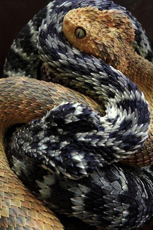 Le Serpent Le Plus Dangereux Du Monde : serpent, dangereux, monde, INSPIRATIONAL, Serpent, Venimeux,, Animaux,, Animaux, Exotiques
