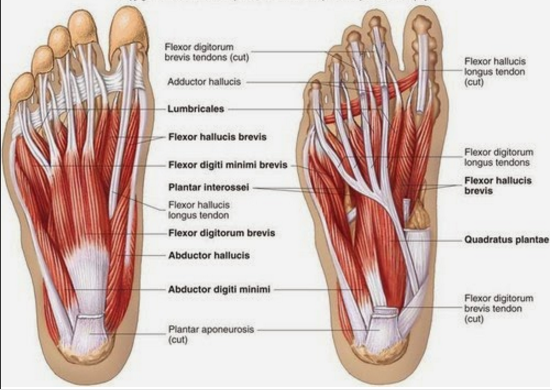 Ankle Diagram Blank Anatomy
