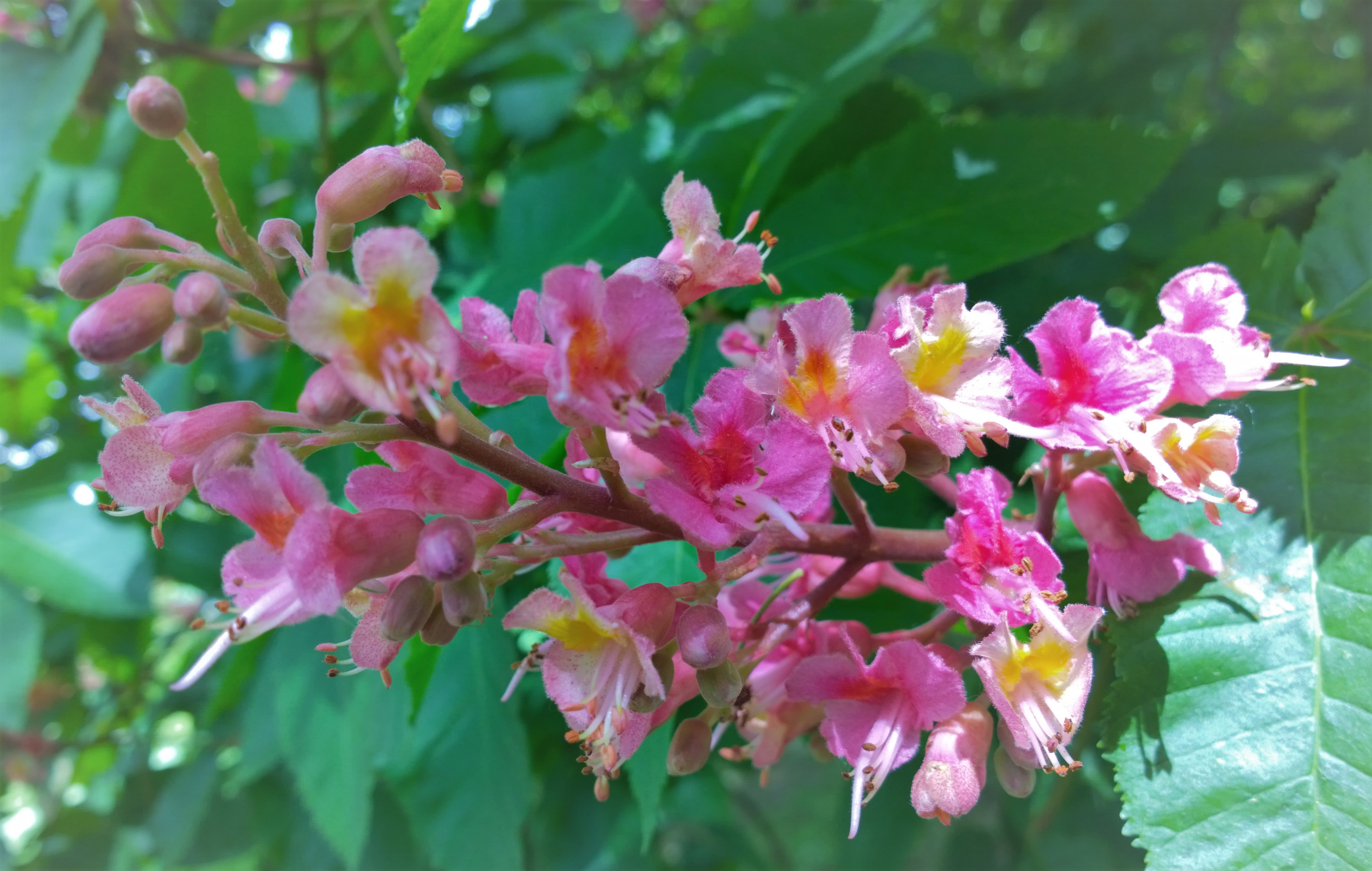 Horse Chestnut Pink Flowers Icarus At Knighton Park Leicester 2018