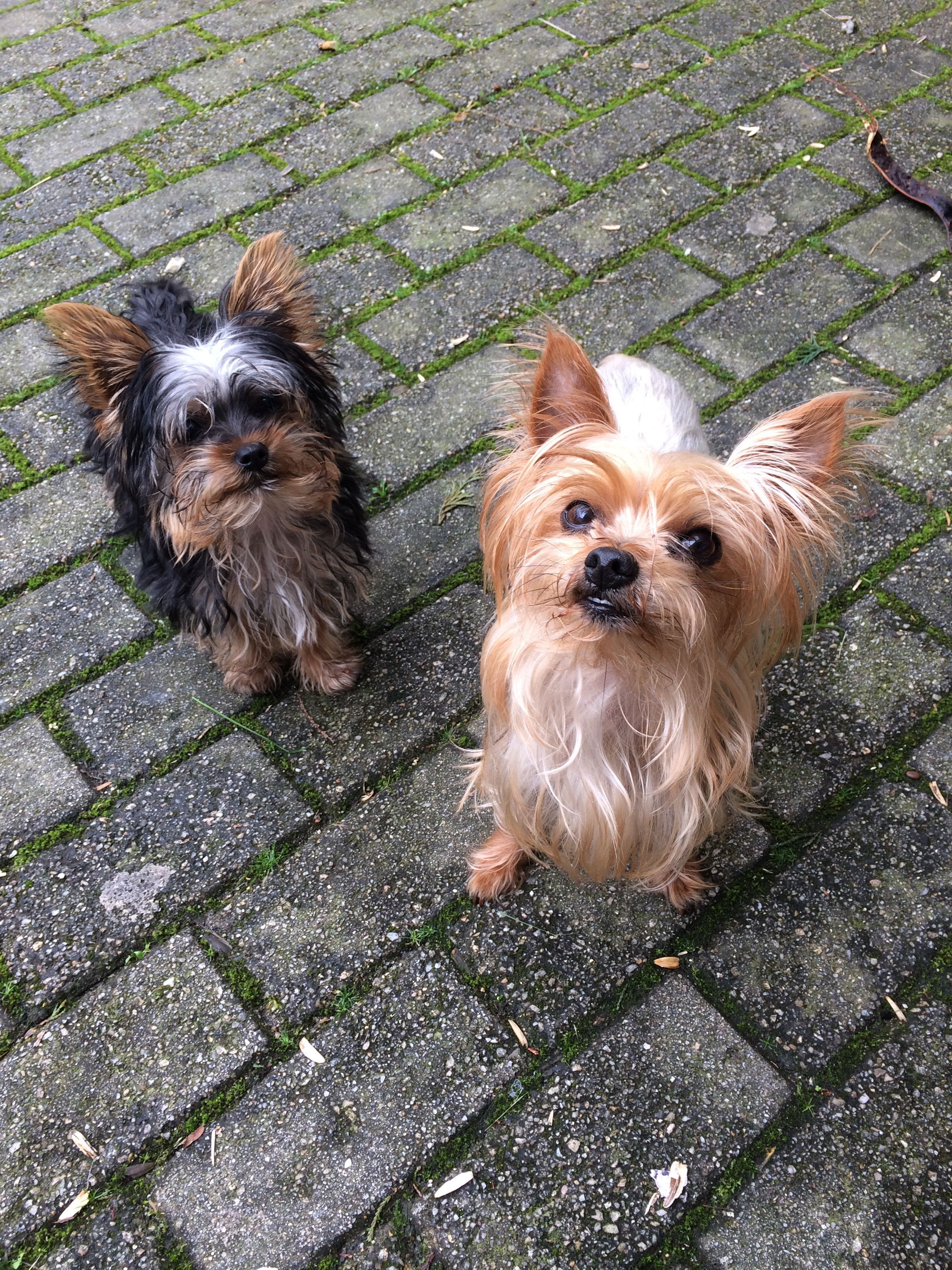 Pin by The Dogs on Yorkshire Terrier   Pinterest   Yorkshire terrier ...