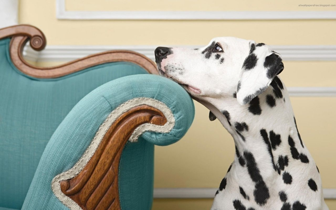 Wallpapers Perros Dalmatian Dogs Dogs Beautiful Dogs
