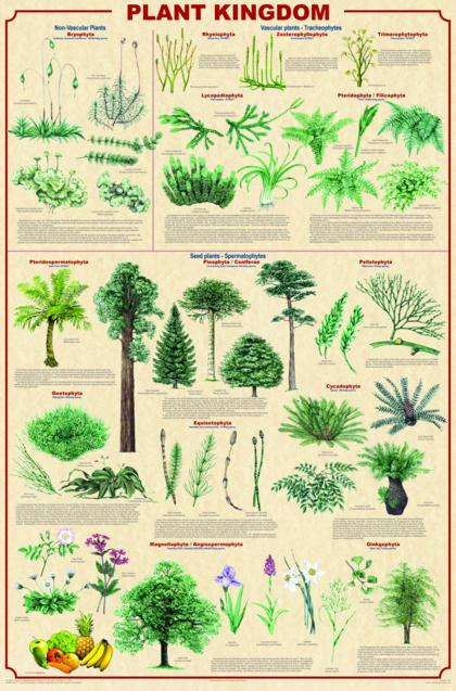 Klasifikasi Plantae : klasifikasi, plantae, Pengertian,, Sistem, Organ, Kingdom, Plantae, Lengkap, Dengan, Klasifikasinya, Menanam,, Tanaman, Indoor,, Berkebun