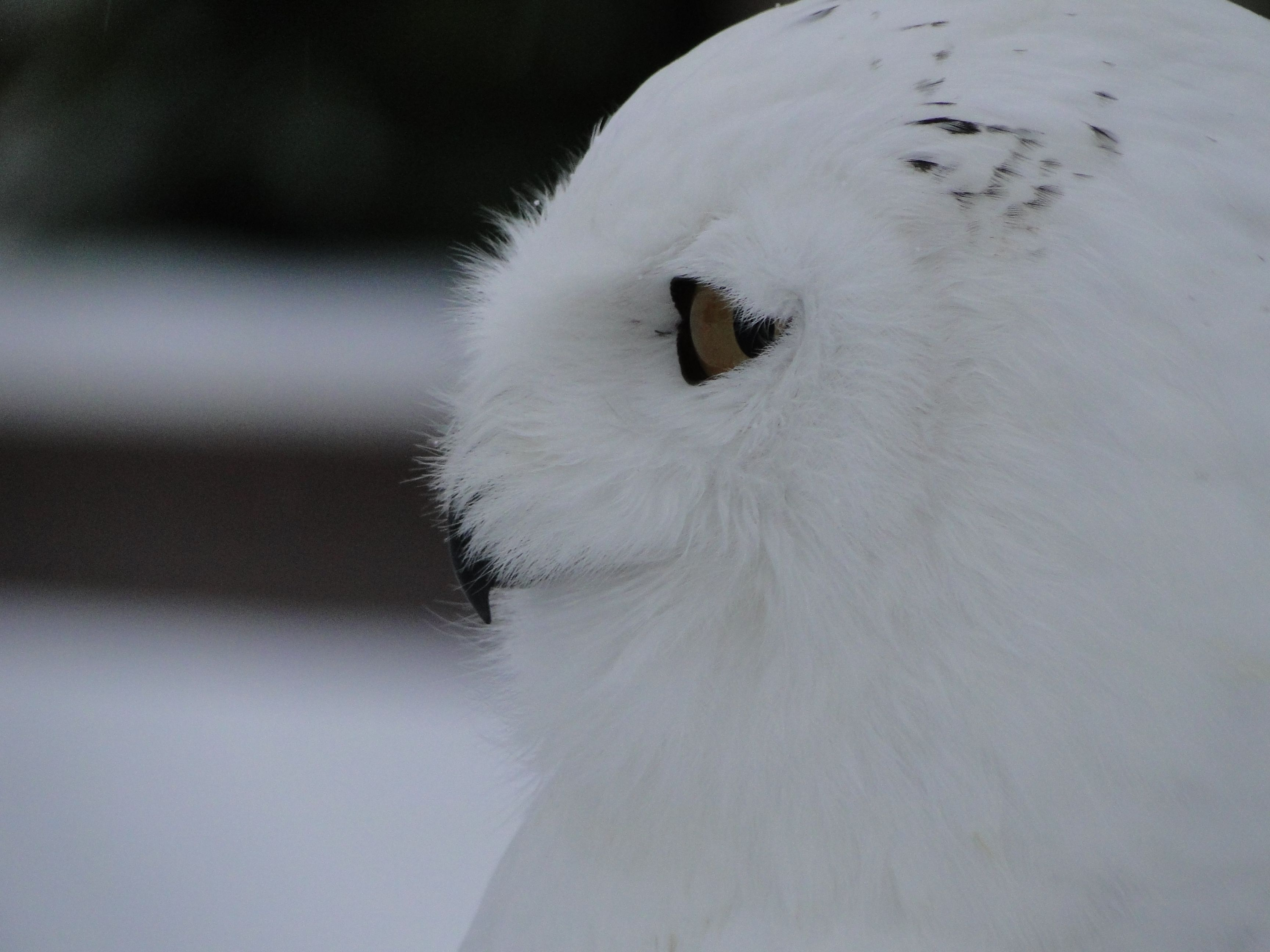 Say hello to Snowy :) http://www.peckfortoncastle.co.uk/activities-falconry