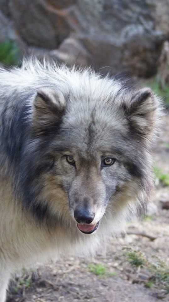 Happy Birthday to Rajan--Wolf Sanctuary Photo