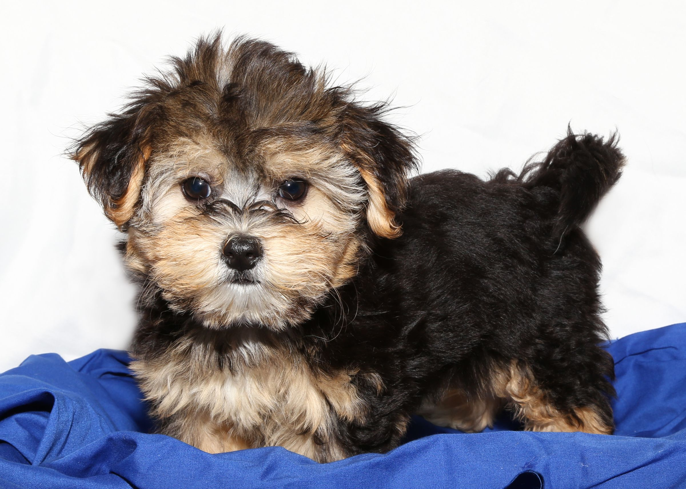 Morkie For Sale On Long Island At Puppy Love In Franklin Square