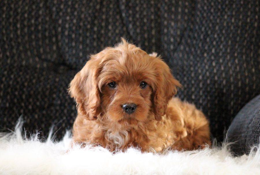 Puppies For Sale With Images Cavapoo Puppies Puppies