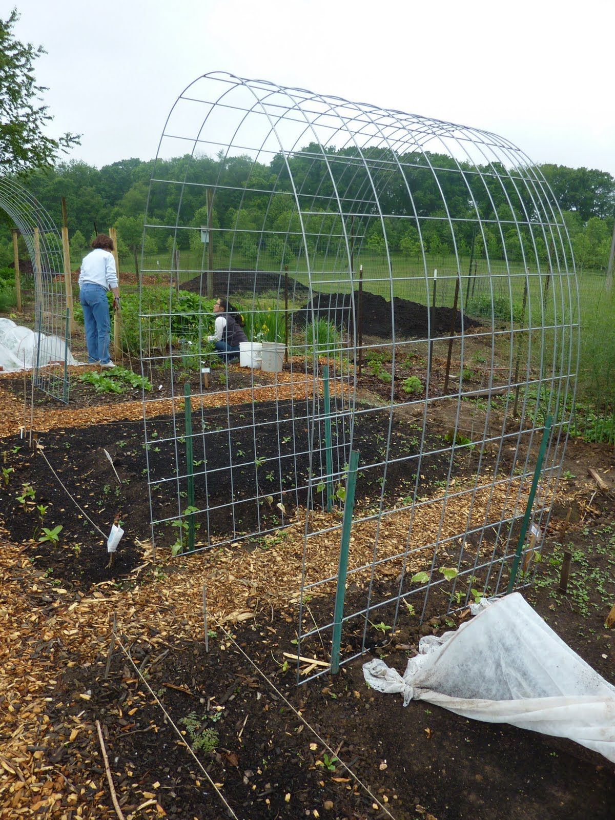 use Cattle Panels bent into an arch for inexpensive climbing trellis ...