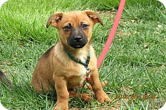 Allentown Pa Chihuahua Dachshund Mix Meet Puppy Kody A Puppy