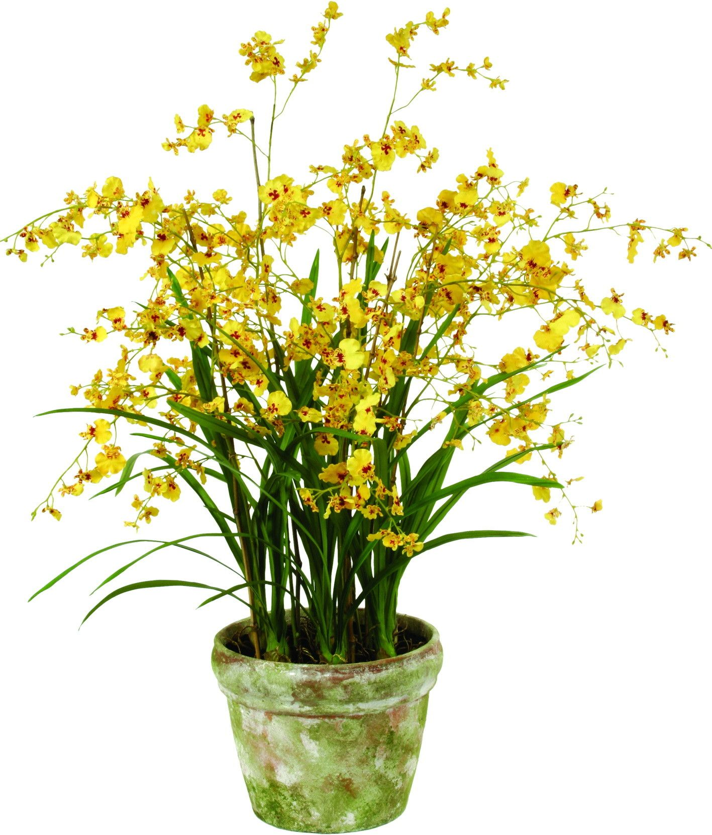 Oncidium orchid floor plant in pot products pinterest