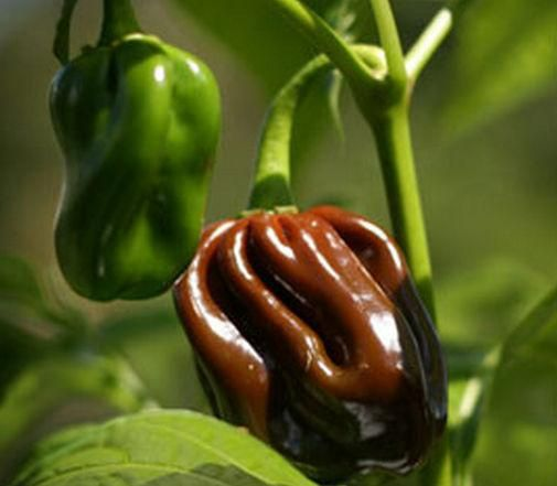 NON-GMO FREE SHIPPING! 25 CARIBBEAN RED HABANERO PEPPER SEEDS 2019