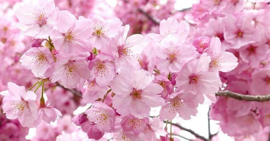 Pin By Kymberlie Nakayama On Tattoo Blossom Flower Cherry Blossom Season Cherry Blossom