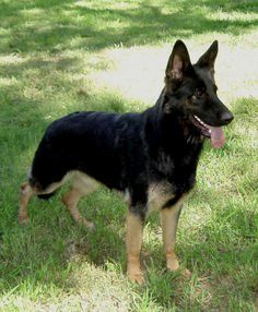 Black And Tan German Shepherd German Shepherd Dogs Black German