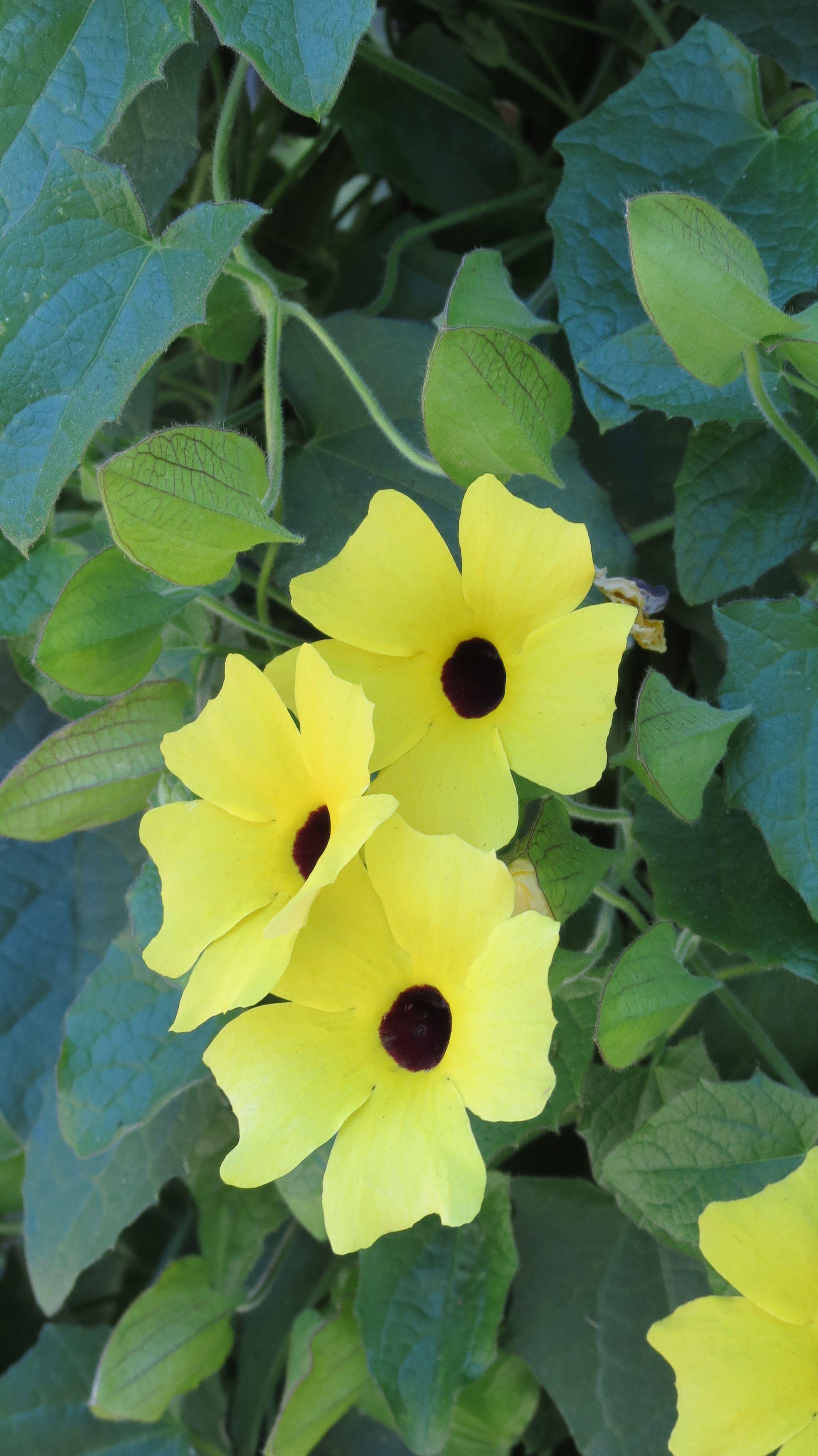 Yellow Vine Flowers Flowers Amazing Wonderous Pinterest Flowers
