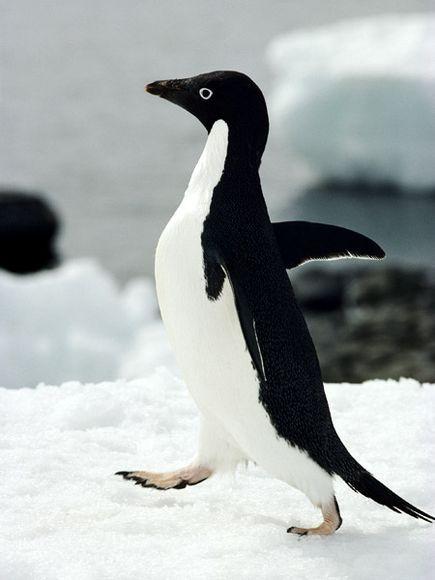Adélie Penguin   Penguins