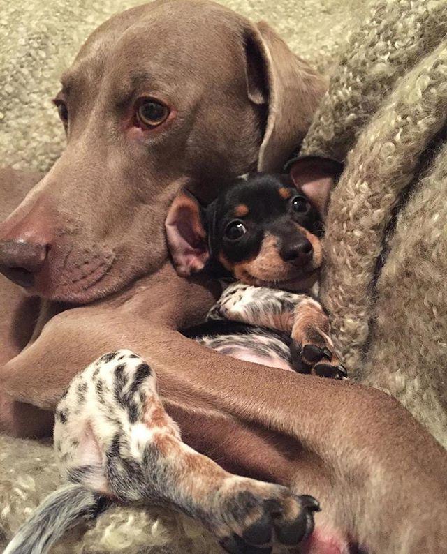Cuddle Time Regram Harlowandsage Socute Puppygram Foster Puppies