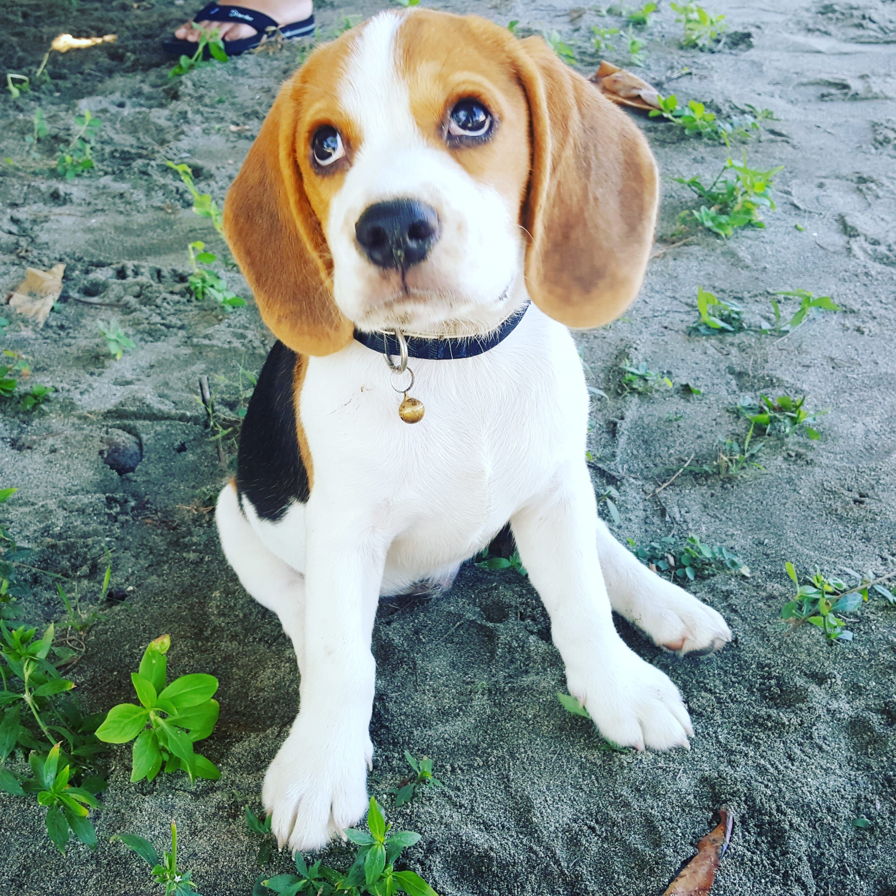 Nero At The Beach The Most Adorable Beagle Pup Ever 3 In 2020 Mixed Breed Dogs Beagle Mix Dog Breeds