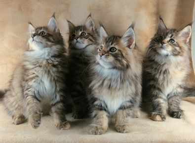 Maine Coon Breeder in Ohio | Maine Coon Cats | Maine coon