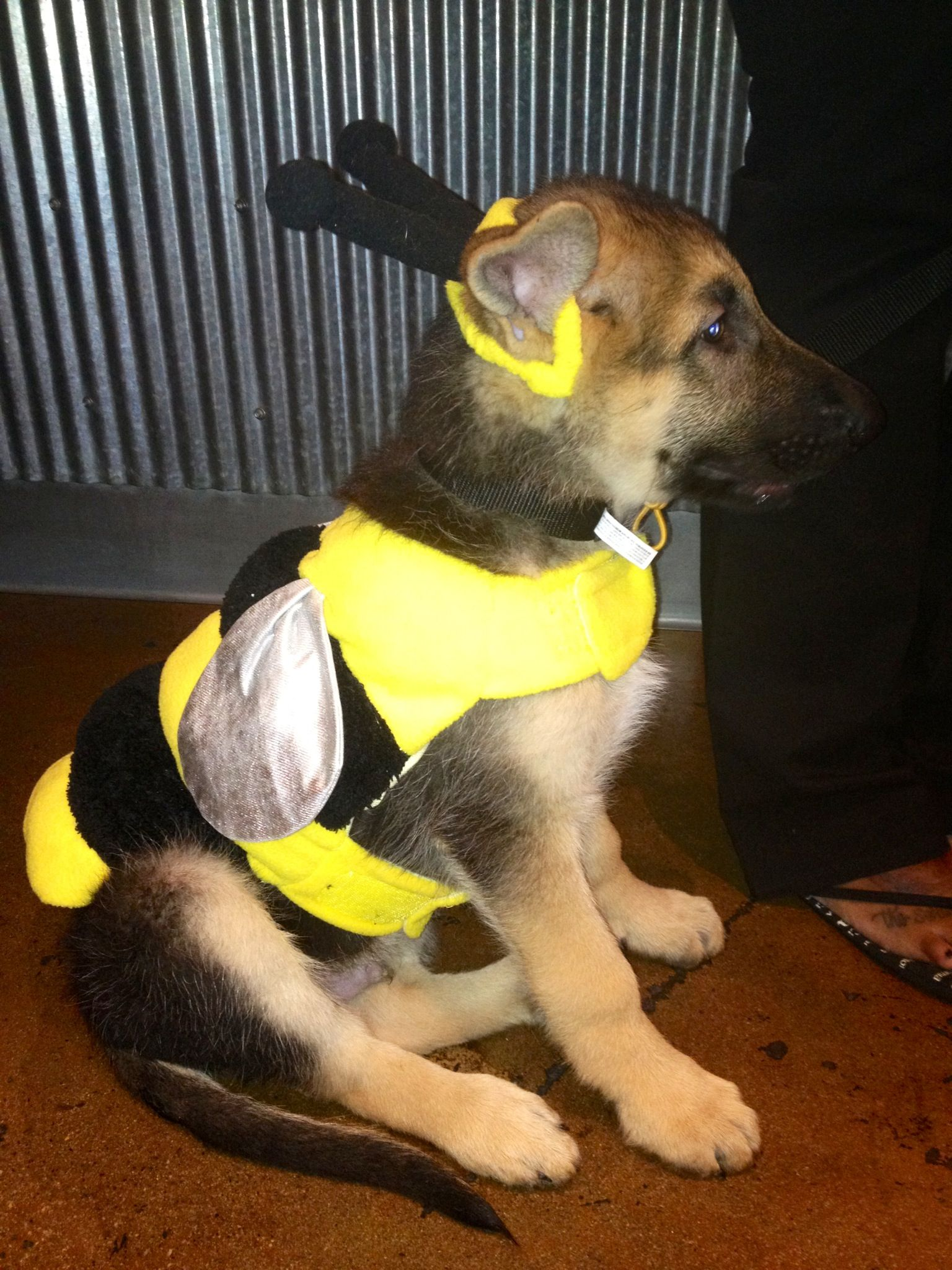 What a cute German Shepard puppy dressed up as a bumble