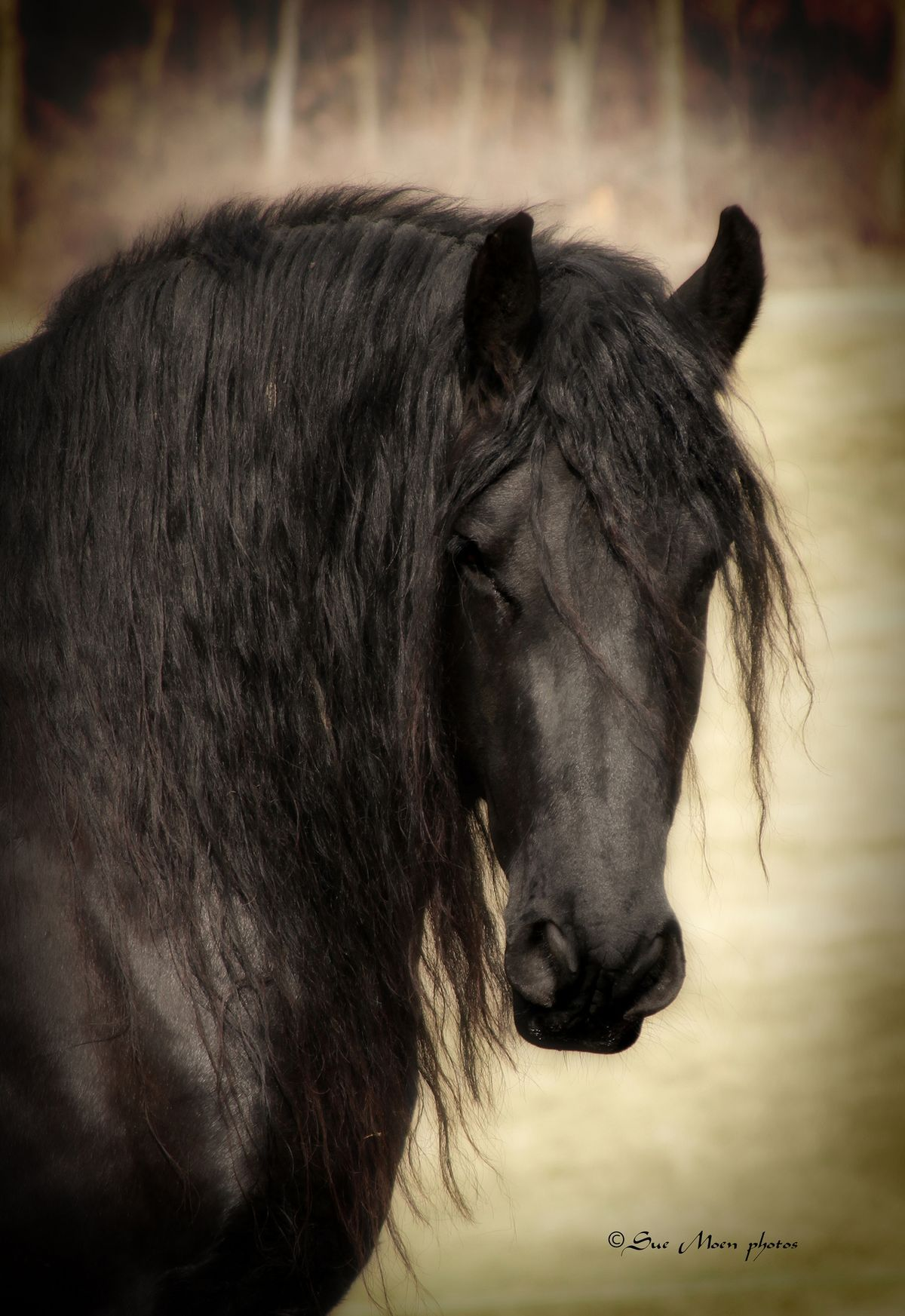 Portrait of a majestic Friesian horse. - Horse breeds