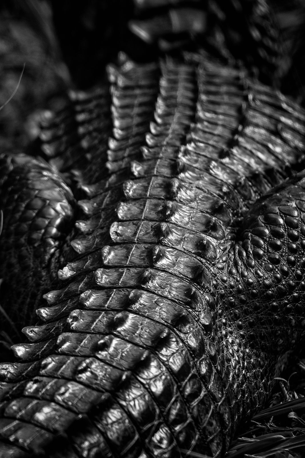 its the texture of a gators skin taken in black in white which brings out the minor details since the lack of color allows the texture to shine through - Coloration Martine Mah Composition