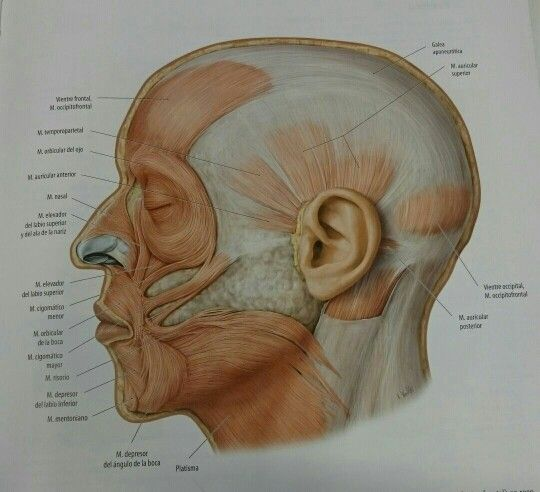 Prom. Músculos cara perfil   Miofuncional   Pinterest   Músculos ...