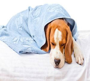 Symptoms Of Common Cold In Dogs Coughing Runny Eyes Yellowish
