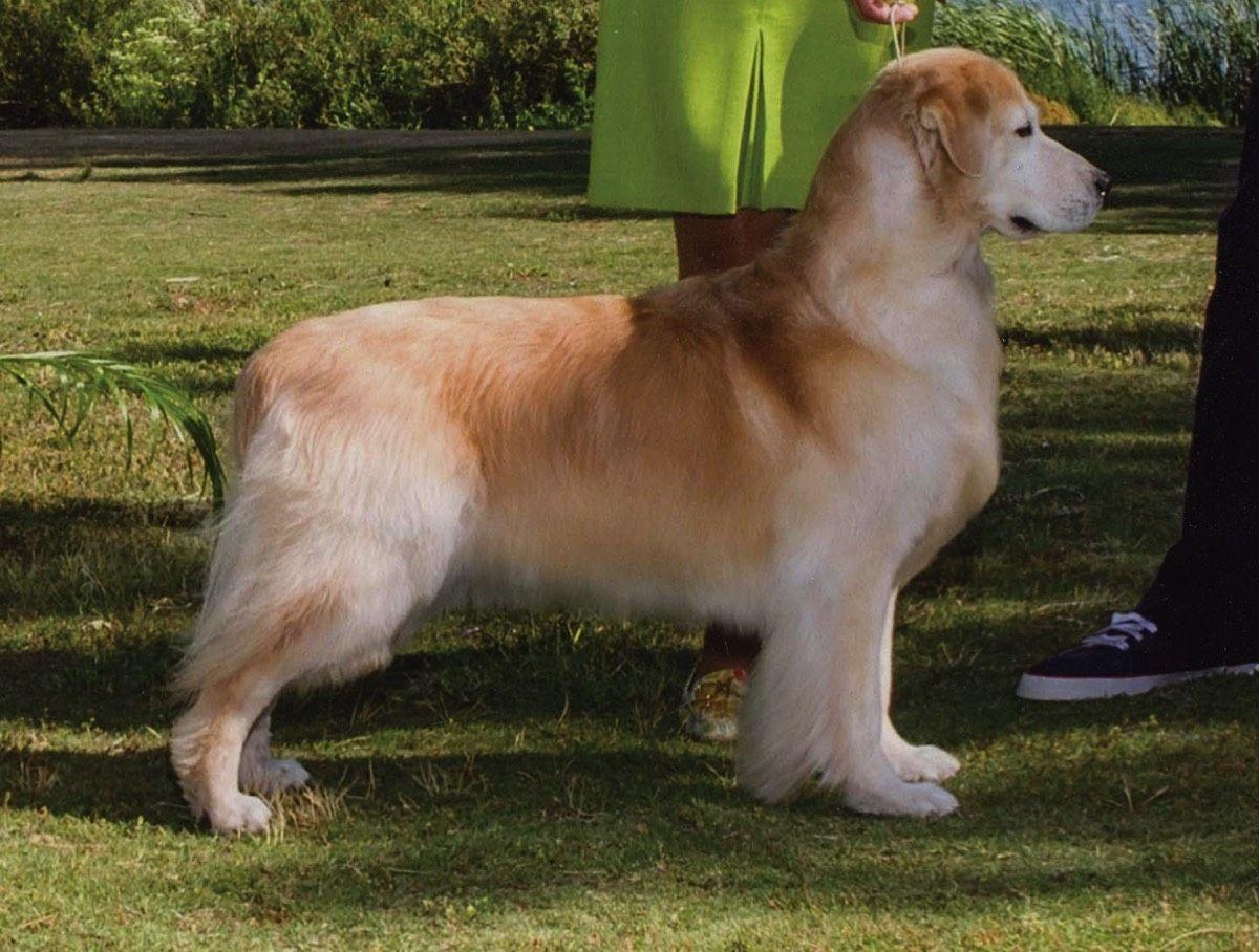 Sunbeam Goldens Dogs Animals