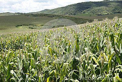 Lavoura Do Campo De Milho De Milho - Baixe conteúdos de Alta Qualidade entre mais de 33 Milhões de Fotos de Stock, Imagens e Vetores. Registe-se GRATUITAMENTE hoje. Imagem: 55611597
