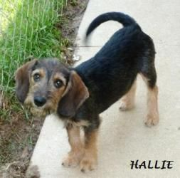 Adopt Hallie On Wire Haired Dachshund Terrier Mix Beagle Dog